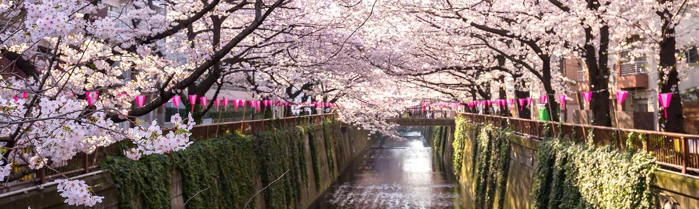 Cherry Blossoms blooming in Tokyo, Japan
