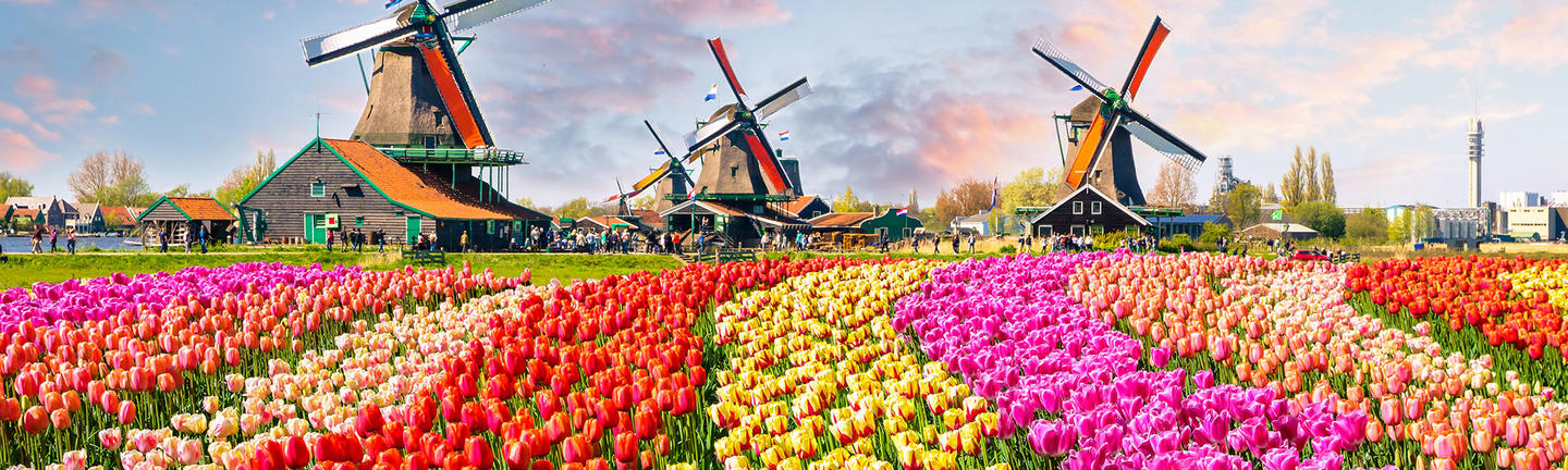 Tulips and windwills in the Netherlands